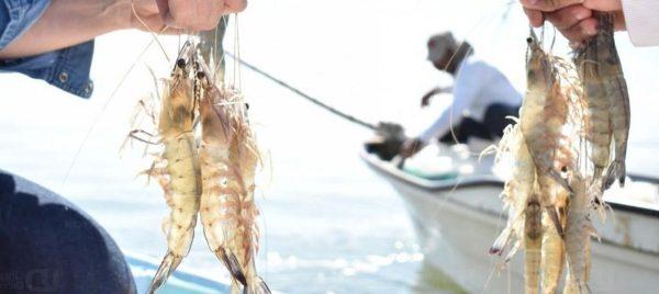 Langostino de Sanlucar pescados pro trasmallo.
