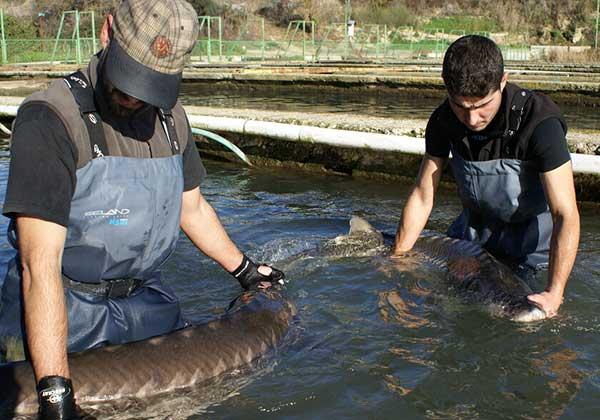 El caviar se produce de manera ecológica