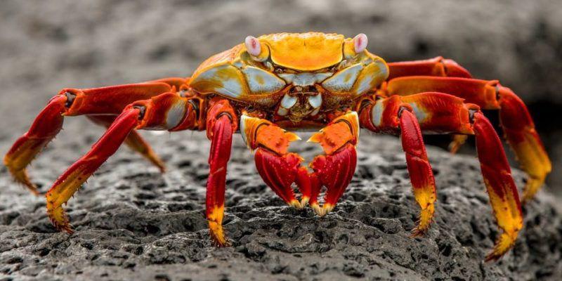 Entre los Crustáceos encontramos a los cangrejos.