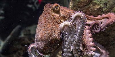 cefalópodos mariscadas